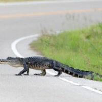 AlligatorInRoad
